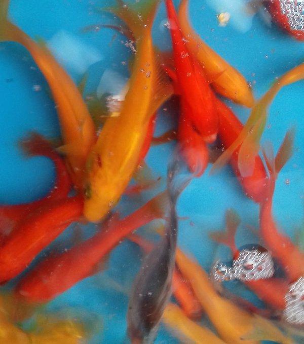 Goldfisch mix 4 7 cm rote gelbe comet shubunkin for Teichfische shubunkin